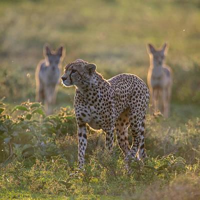 Cheetah Acinonyx Jubatus And Jackals Art Print by Panoramic Images