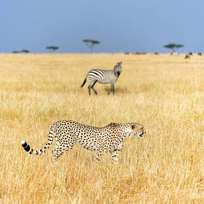 Cheetah Acinonyx Jubatus Looking Art Print