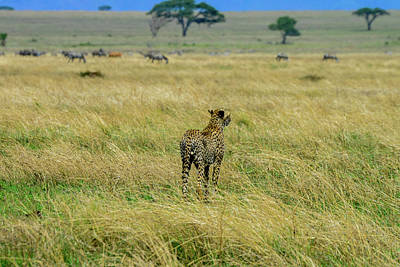 Photograph - Cheetah And Zebras by Marilyn Burton