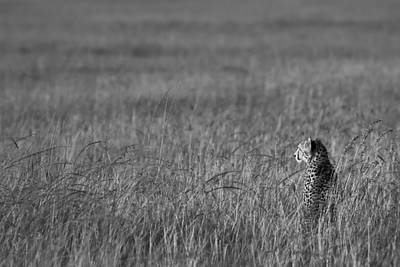 Photograph - Cheetah by Andy Bitterer