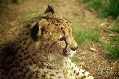 Photograph - Cheetah At Rest by Elaine Mikkelstrup
