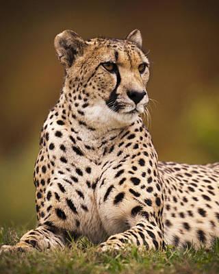 Cheetah Beauty Original by Chad Davis