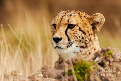 Photograph - Cheetah Behind A Mound by Nick Biemans