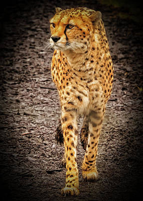 Photograph - Cheetah by Chris Boulton