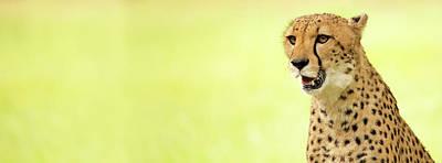 Photograph - Cheetah Close-up Website Banner by Susan Schmitz