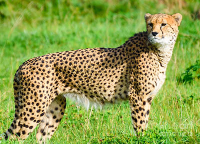 Photograph - Cheetah by Colin Rayner