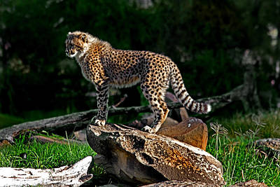 Cheetah Cub Finds Her Pride Rock Art Print