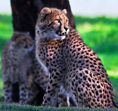Photograph - Cheetah Cub by Miroslava Jurcik