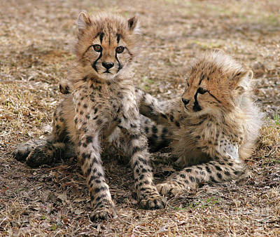 Photograph - Cheetah Cubs by Art Cole