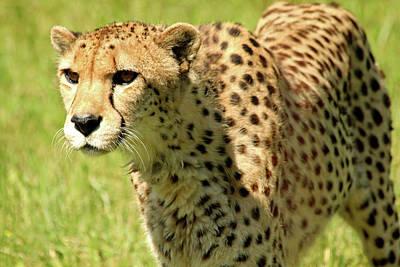 Photograph - Cheetah by Debbie Oppermann