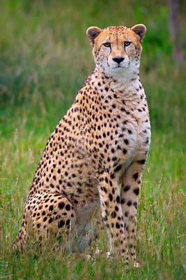 Photograph - Cheetah  by Emmanuel Panagiotakis