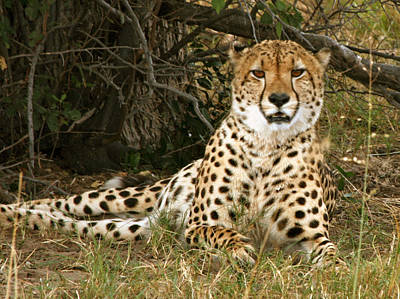 Photograph - Cheetah Encounter by Karen Zuk Rosenblatt