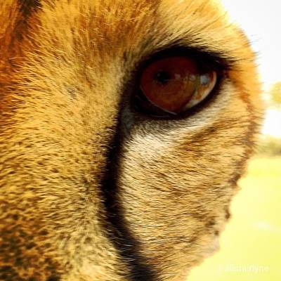 Photograph - Cheetah Eye by Alistair Lyne