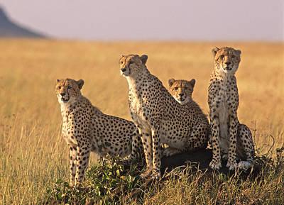 Cheetah Family Art Print by Johan Elzenga
