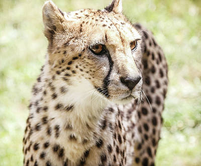 Photograph - Cheetah Glare by Athena Mckinzie
