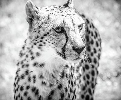 Photograph - Cheetah Glare Bw by Athena Mckinzie