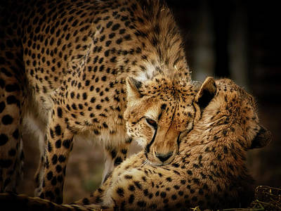 Photograph - Cheetah Hugs by Ernie Echols