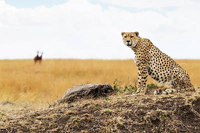 Photograph - Cheetah In Africa Looking Into Camera by Susan Schmitz