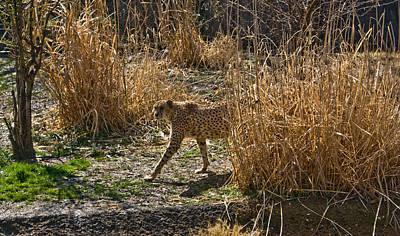 Cheetah  In The Brush Print by Douglas Barnett
