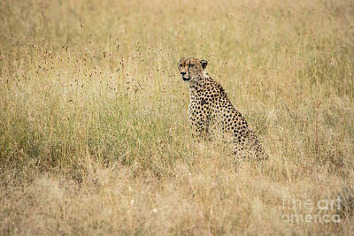 Photograph - Cheetah In The Savannah by Pravine Chester