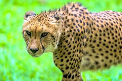 Animal Watercolors Juan Bosco - Cheetah by Jijo George