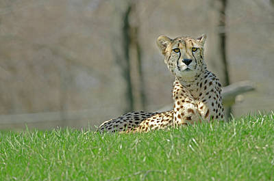 Photograph - Cheetah by JT Lewis