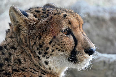 Photograph - Cheetah by Kuni Photography