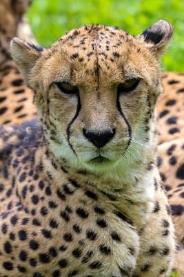 Monochrome Landscapes - Cheetah Looking Forward Portrait by Jit Lim