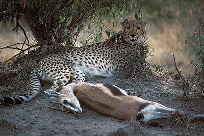 Photograph - Cheetah Lunch In Kenya by Carl Purcell