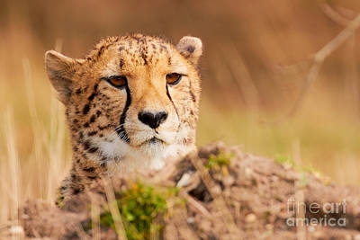 Photograph - Cheetah Lying Behind A Mound by Nick Biemans