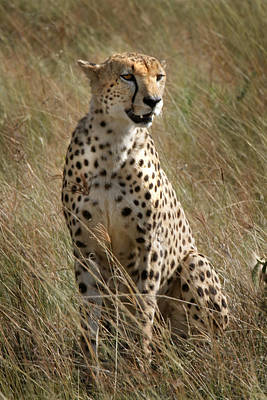 Photograph - Cheetah Masai Mara Kenya by Joseph G Holland