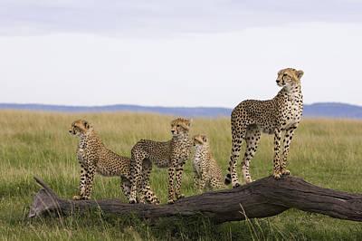 Cheetah Mother Cubs Masai Mara National Art Print