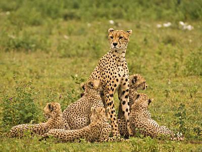 Cheetah Photograph - Cheetah Mum And Six Cubs by Gary Maynard