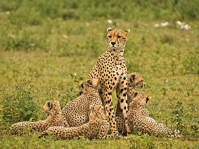 Cheetah Mum And Six Cubs Original by Gary Maynard
