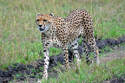 Photograph - Cheetah On A Walkabout by Don Mercer