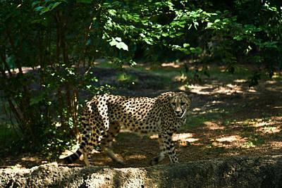 Cheetah On The In The Forest 2 Art Print by Douglas Barnett