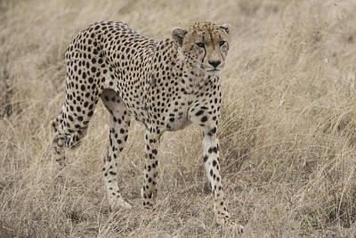 Cheetah Digital Art - Cheetah On The Move by Pravine Chester