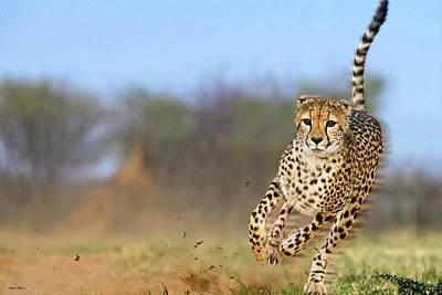 Cheetah, On The Move Art Print