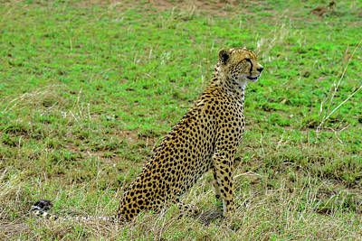Photograph - Cheetah On The Serengeti by Marilyn Burton