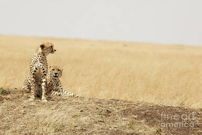 Photograph - Cheetah Pair In The Masai Mara by Jane Rix