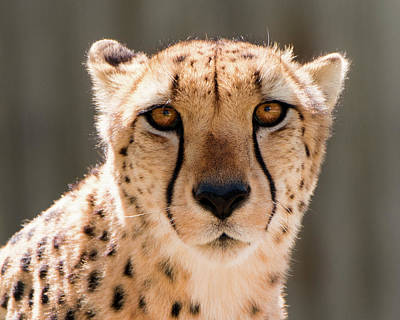 Photograph - Cheetah by Philip Rodgers