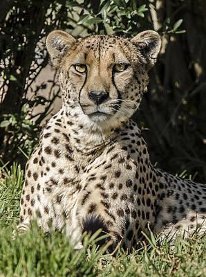 Photograph - Cheetah Portrait 3 by William Bitman