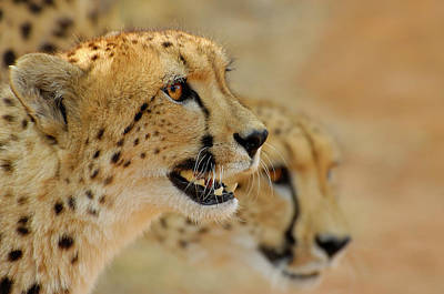 Photograph - Cheetah Portrait by Martin Heigan