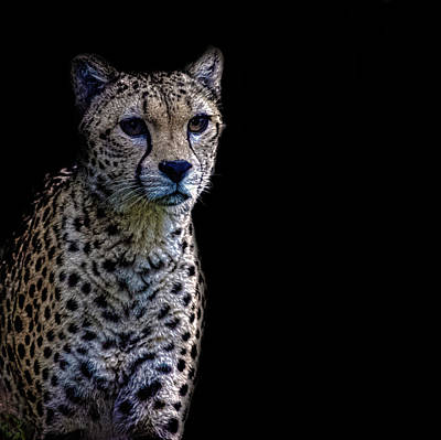 Spotted Tail Photograph - Cheetah Portrait by Martin Newman