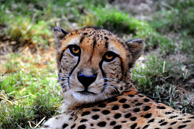 Photograph - Cheetah Portrait  by Savannah Gibbs