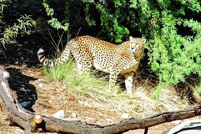 Photograph - Cheetah Posing by Kirsten Giving