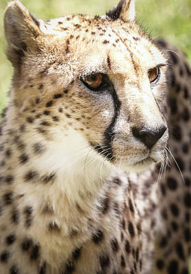 Photograph - Cheetah Predator Eyes by Athena Mckinzie