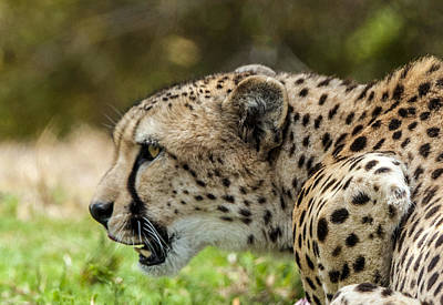 Photograph - Cheetah Profile by William Bitman