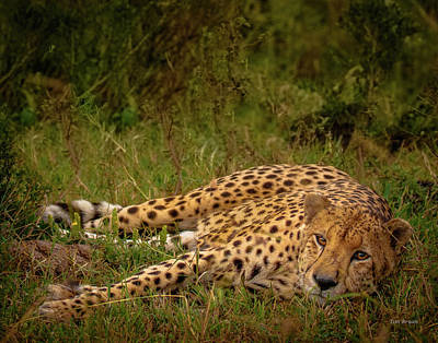 Photograph - Cheetah Resting, Masai-mara by Tim Bryan