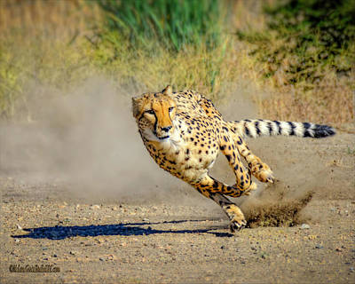 Photograph - Cheetah Run by LeeAnn McLaneGoetz McLaneGoetzStudioLLCcom